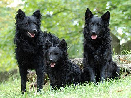 Características físicas de los perros de raza mudi