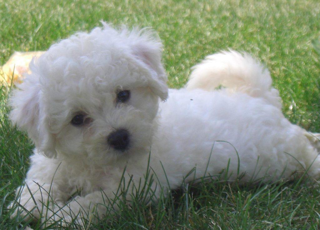 Características físicas del perro bichón frisé