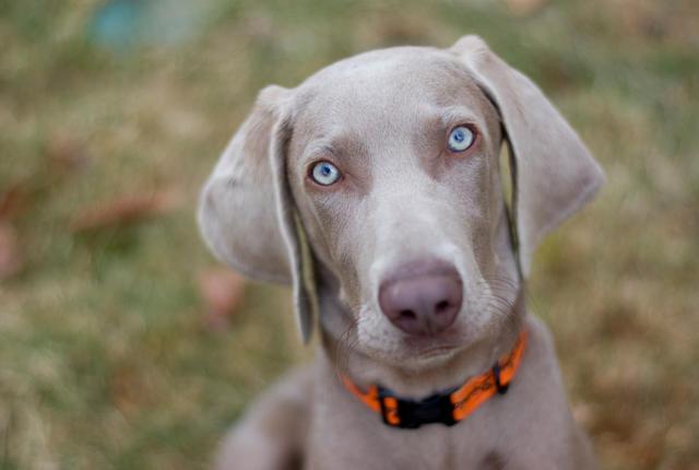 Características físicas del perro braco de Weimar