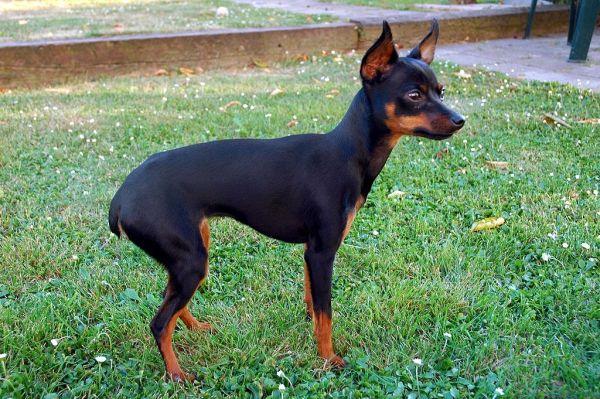 Características físicas del perro de raza ratón de Praga