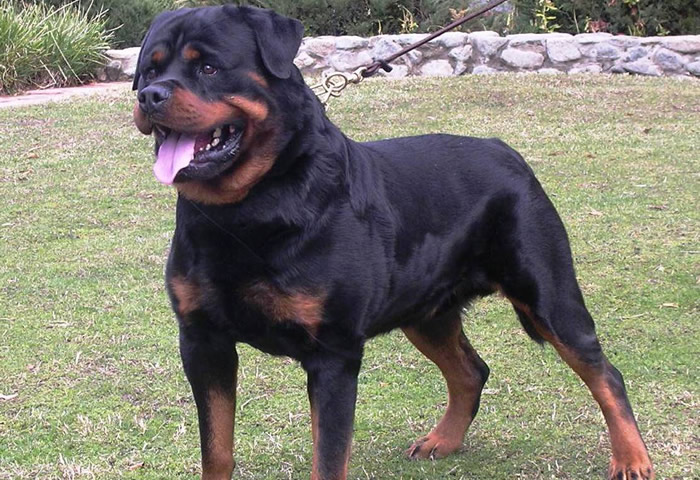 Características físicas del perro de raza rottweiler