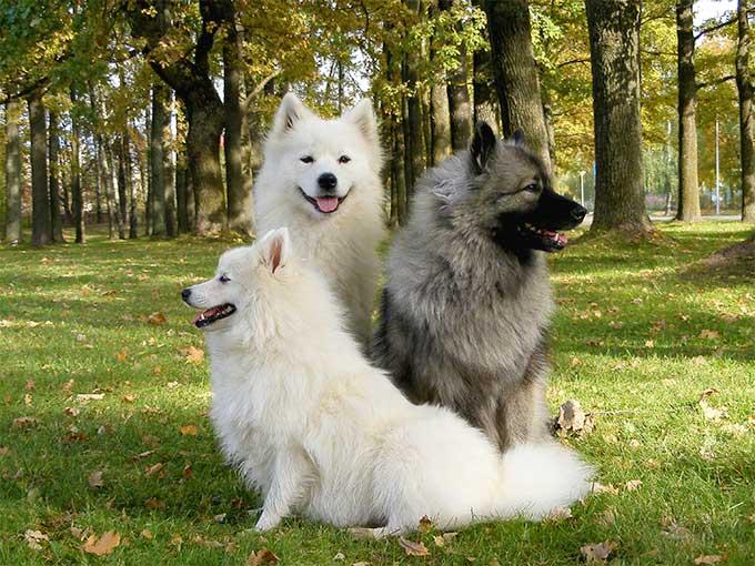 Características físicas del perro keeshond