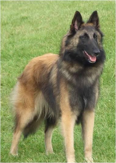 Características físicas del perro pastor belga tervueren