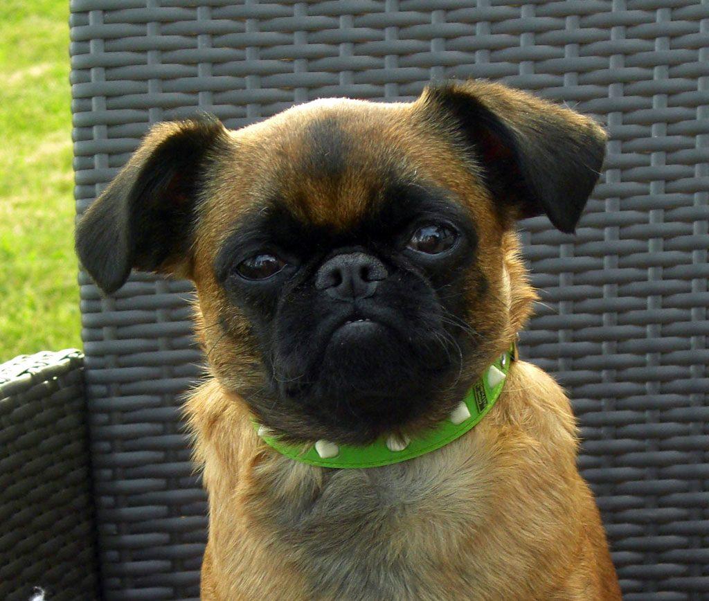 Características físicas del perro petit brabançon