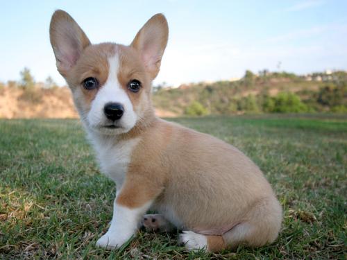 TODO sobre el perro Welsh Corgi Pembroke: Comportamiento ...