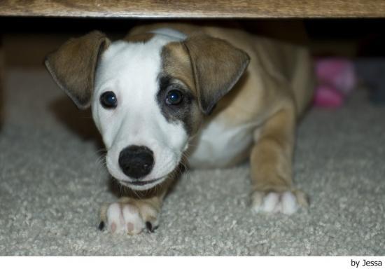 Características físicas del perro whippet