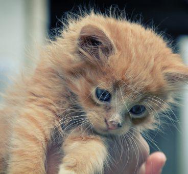chrome convierte trump en gatitos