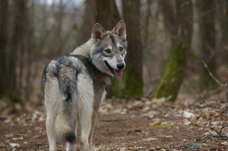 Cómo adiestrar a la raza del perro lobo de Saarloos