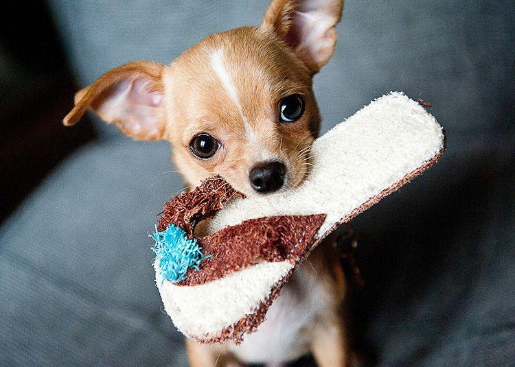 Cómo cuidar a tu perro Chihuahua