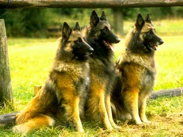 Cómo cuidar a un perro pastor belga tervueren
