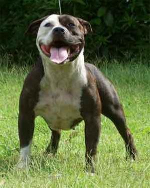 Cómo cuidar de un American Staffordshire-Terrier