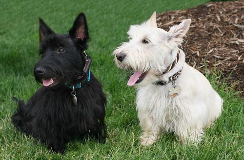 Cómo es el temperamento del perro Scottish terrier