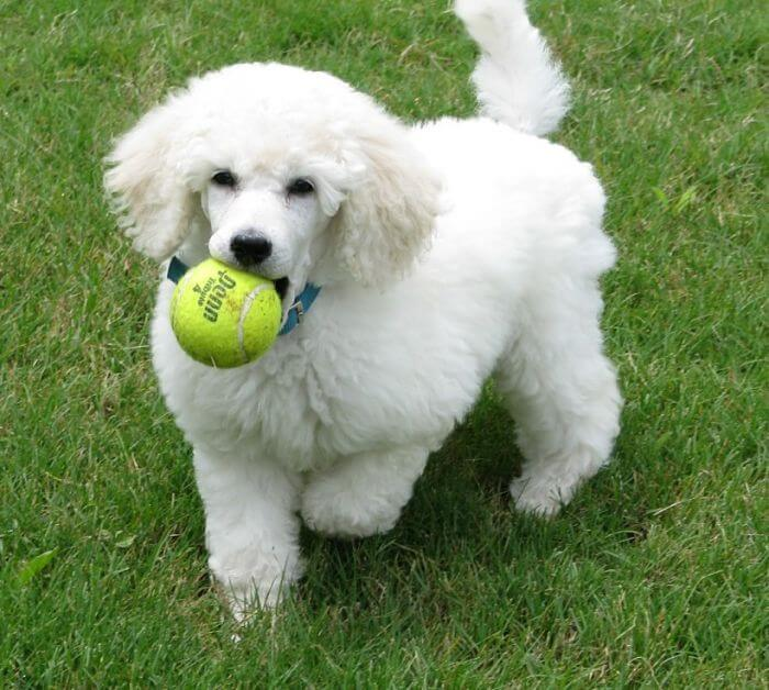 Cómo es la convivencia con el perro caniche