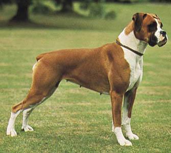 Cómo es la convivencia con la raza de perros bóxer