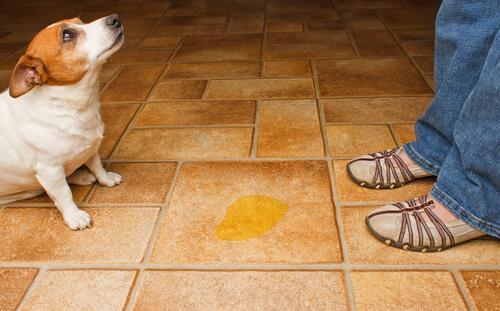 Cómo evitar que los perros orinen en casa