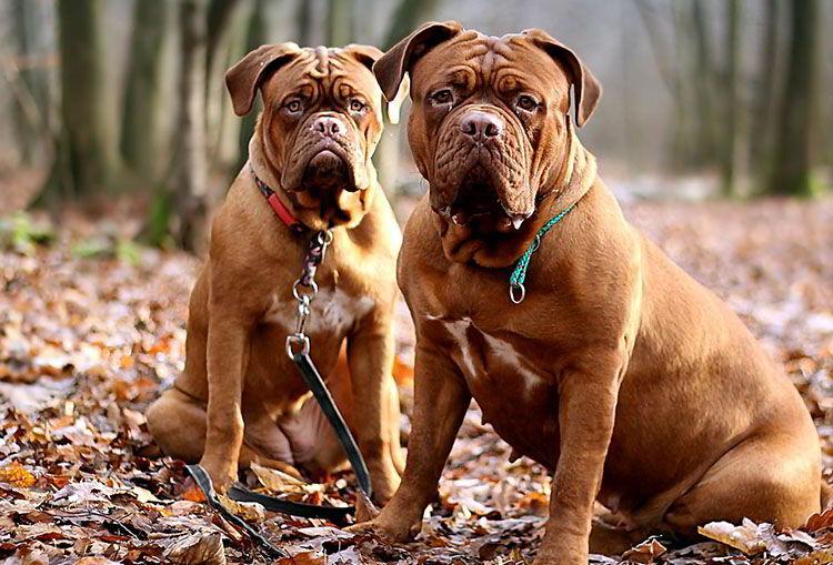 Cómo prevenir la agresividad en una perra en celo