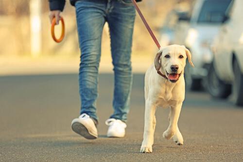 Cómo puedo hacer para que mi perro se acostumbre a la correa