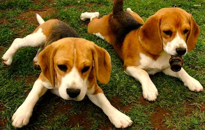 Cómo reconocer a un Beagle