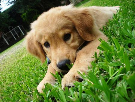Cómo reconocer a un perro Golden Retriever