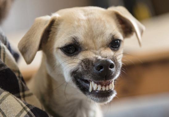 Cómo saber si un perro tiene rabia