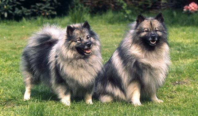 Cómo se comportan los perros de raza keeshond