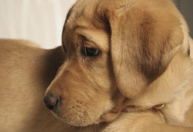 Cómo se detecta en los perros la diabetes
