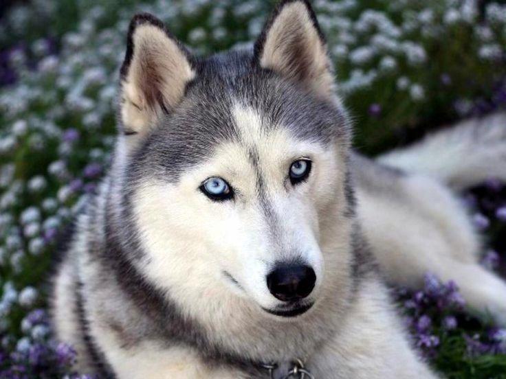 Cómo son los perros husky siberianos