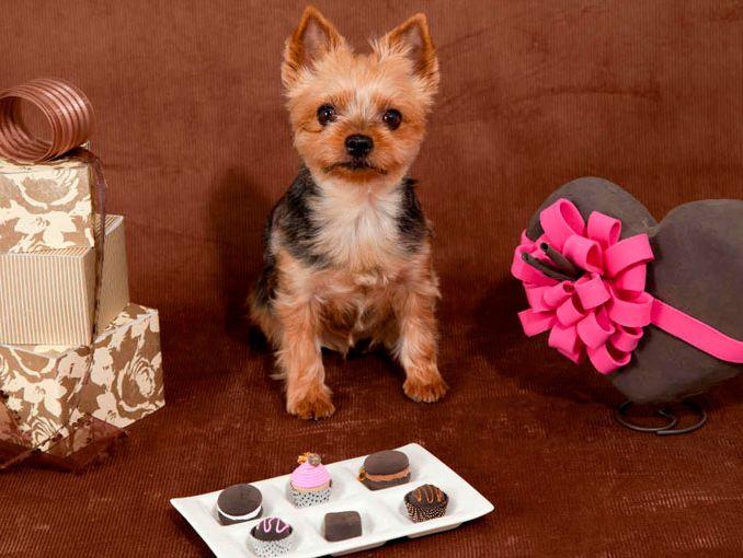 Consecuencias del chocolate para los perros