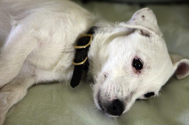 Cuál es la causa de las manchas de lágrimas en perros