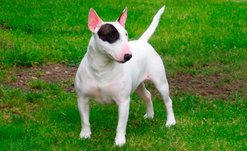 Cuál es la historia de la raza bull terrier inglés