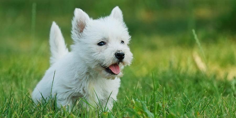 Cuáles son las características físicas de la raza west highland white terrier