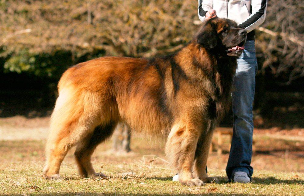 Cuáles son las características físicas del perro de raza leonberger