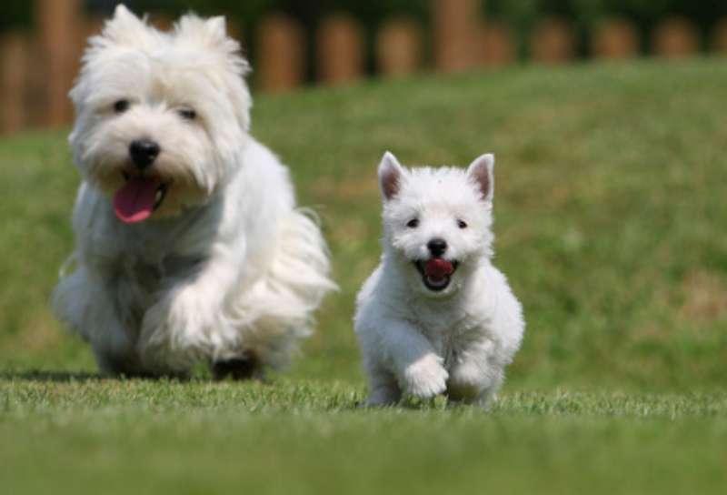 Cuáles son los cuidados que necesita la raza west highland white terrier