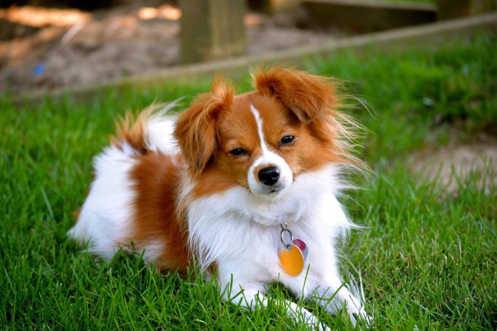 Cualidades físicas de la raza de perro papillón