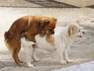 Cuándo ocurre el primer celo en perros