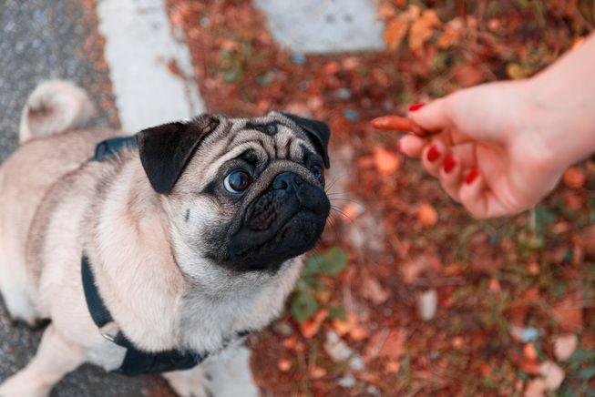 Cuándo puedo darle a mi perro golosinas para mascotas
