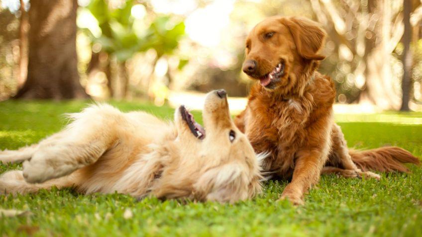 Cuándo tienen las perras su primer celo