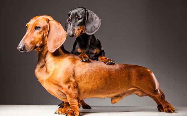 Cuidados del dachshund o teckel