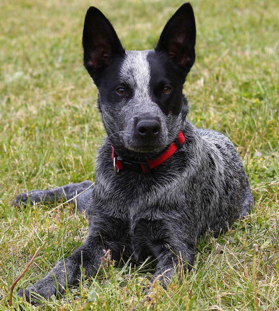 el fascinante perro boyero australiano o pastor ganadero australiano