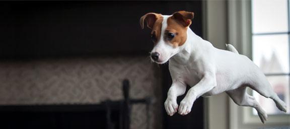Cuidados del perro jack russell