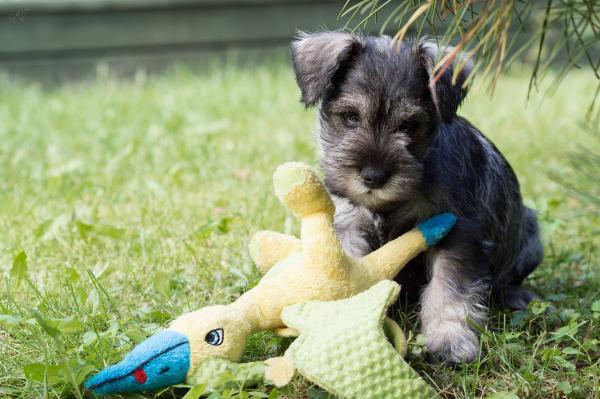 Cuidados del perro schnauzer miniatura