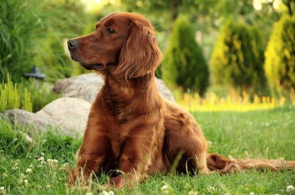Cuidados del perro setter irlandés rojo