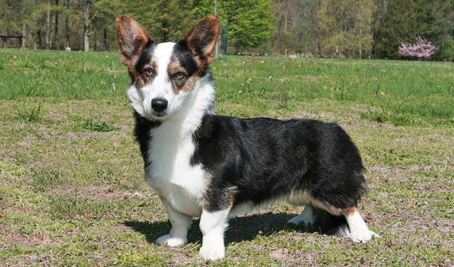 Cuidados del perro Welsh corgi Cardigan