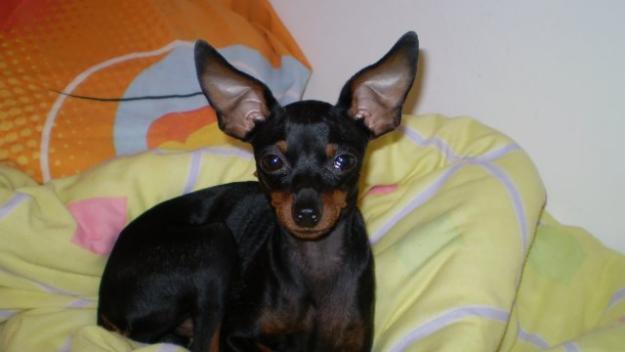 Cuidados que necesita la raza de perro ratón de Praga