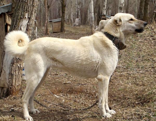 Cuidados que necesitan los perros de la raza turca kangal