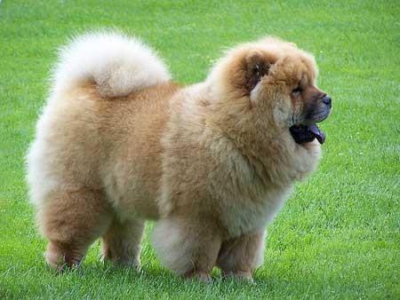 alopecia canina