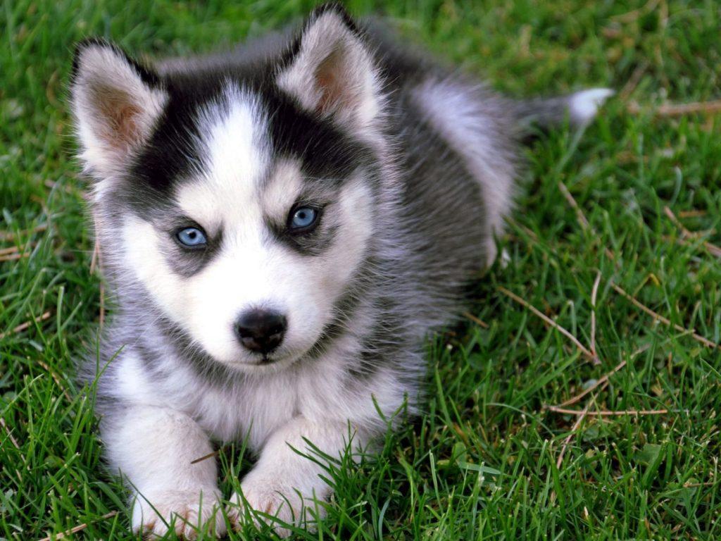 El carácter del husky siberiano