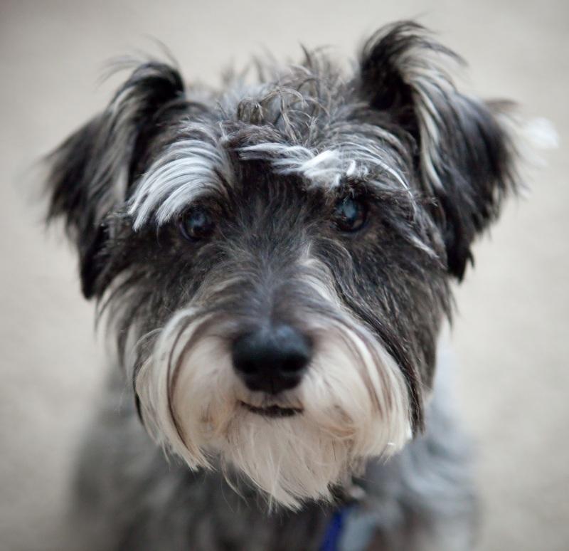 El temperamento del perro schnauzer miniatura