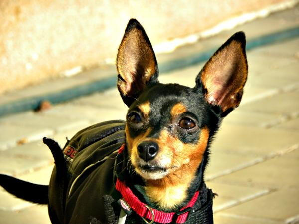 cuanto dura una indigestion en un perro