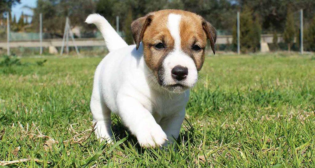 La obesidad en en perro jack russell terrier
